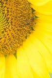 Ciérrese encima de la flor de Sun Fotografía de archivo