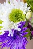 Ciérrese encima de la flor del crisantemo Imagenes de archivo