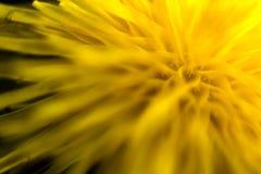 Ciérrese encima de la flor del diente de león Foto de archivo