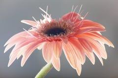 Ciérrese encima de la flor del gerber Foto de archivo libre de regalías