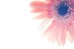 Ciérrese encima de la flor del gerber Imagen de archivo