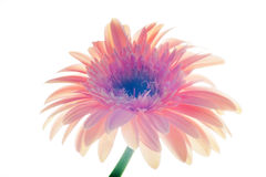 Ciérrese encima de la flor del gerber Fotografía de archivo libre de regalías