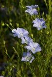 Ciérrese encima de la flor del lino. imagen de archivo