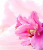 Ciérrese encima de la flor del lirio en la madera Fotos de archivo libres de regalías