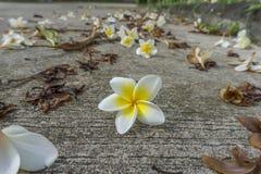 Ciérrese encima de la flor del Plumeria Foto de archivo libre de regalías