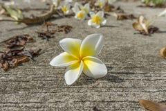 Ciérrese encima de la flor del Plumeria Fotos de archivo