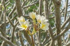Ciérrese encima de la flor del Plumeria en el árbol Imagen de archivo