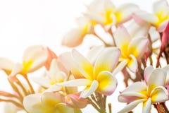 Ciérrese encima de la flor del thom del Lan Imagen de archivo libre de regalías