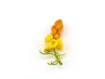 Ciérrese encima de la flor en el fondo blanco, la flor del alata del sen de Imagen de archivo