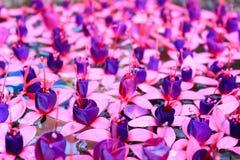 Ciérrese encima de la flor fucsia en el agua Fotos de archivo libres de regalías