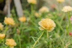 Ciérrese encima de la flor grandiflora del portulaca amarillo o anaranjado fotografía de archivo