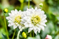 Ciérrese encima de la flor híbrida de la dalia blanca con el fondo borroso Fotos de archivo