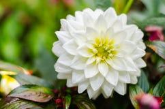 Ciérrese encima de la flor híbrida de la dalia blanca con el fondo borroso Fotografía de archivo