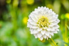 Ciérrese encima de la flor híbrida de la dalia blanca con el fondo borroso Imagen de archivo