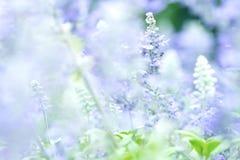 Ciérrese encima de la flor hermosa en el jardín, planta sabia (lat Salvia Officinalis) fotos de archivo
