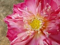 Ciérrese encima de la flor de loto Imagenes de archivo