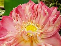 Ciérrese encima de la flor de loto Imágenes de archivo libres de regalías