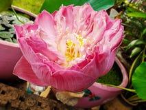 Ciérrese encima de la flor de loto Fotografía de archivo