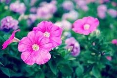 Ciérrese encima de la flor púrpura Fotografía de archivo