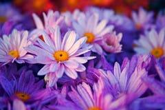 Ciérrese encima de la flor púrpura Foto de archivo