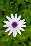 Ciérrese encima de la flor, púrpura media Imagenes de archivo