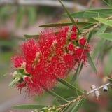 Ciérrese encima de la flor roja Imágenes de archivo libres de regalías