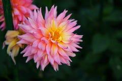 Ciérrese encima de la flor roja con las hojas verdes Imagen de archivo