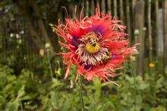 Ciérrese encima de la flor roja de la amapola de opio Imagenes de archivo