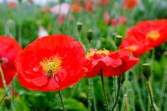 Ciérrese encima de la flor roja de la amapola de opio con las abejas Fotos de archivo
