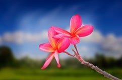 Ciérrese encima de la flor roja del plumeria Imágenes de archivo libres de regalías