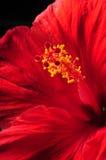 Ciérrese encima de la flor roja hermosa del hibisco Fotos de archivo libres de regalías