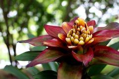 Ciérrese encima de la flor roja hermosa en fondo del ramo en jardín Fotografía de archivo