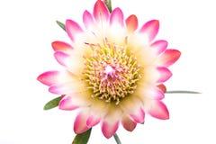 Ciérrese encima de la flor rosada fotografía de archivo