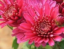 Ciérrese encima de la flor rosada del aster para el fondo Imagenes de archivo