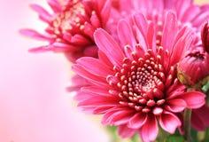 Ciérrese encima de la flor rosada del aster para el fondo Foto de archivo libre de regalías