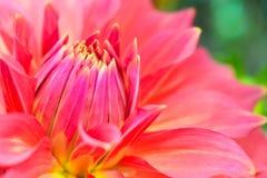 Ciérrese encima de la flor rosada del crisantemo Imagen de archivo libre de regalías