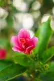 Ciérrese encima de la flor rosada del hibisco Fotografía de archivo libre de regalías