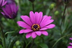 Ciérrese encima de la flor violeta de la margarita africana de Osteospermum Imágenes de archivo libres de regalías
