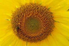 Ciérrese encima de la flor y de la abeja amarillas Foto de archivo libre de regalías