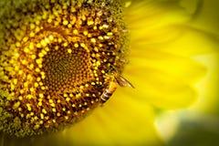 Ciérrese encima de la flor y de las abejas de Sun Foto de archivo