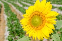Ciérrese encima de la floración del girasol Imagen de archivo
