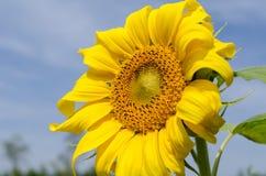 Ciérrese encima de la floración del girasol Imágenes de archivo libres de regalías