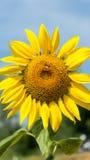 Ciérrese encima de la floración del girasol Fotos de archivo libres de regalías
