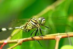 Ciérrese encima de la foto de la libélula Fotos de archivo