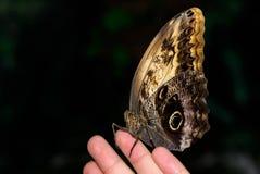 Ciérrese encima de la foto de la mariposa marrón grande fotos de archivo libres de regalías