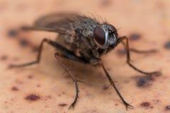 Ciérrese encima de la foto de la mosca de la casa en Brown manchó la superficie Fotografía de archivo libre de regalías