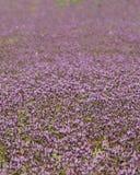 Ciérrese encima de la foto de las flores púrpuras que cubren la tierra Foto de archivo libre de regalías