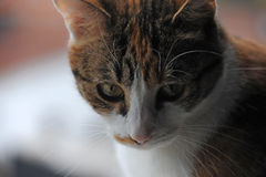 Ciérrese encima de la foto de un gato que mira abajo Imagen de archivo