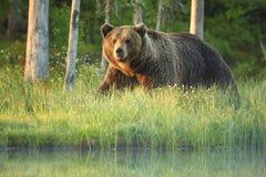 Ciérrese encima de la foto de un oso de Brown salvaje, grande, arctos del Ursus, varón en bosque de la primavera Foto de archivo