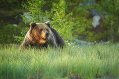 Ciérrese encima de la foto de un oso de Brown salvaje, grande, arctos del Ursus, varón en hierba floreciente Imagenes de archivo
